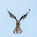 A white-tailed kite looking for his breakfast.