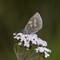 Fjällvickerblåvinge (Albulina orbitulus) - Alpine argus-1