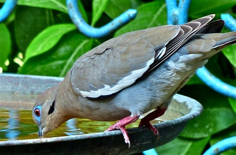 White-winged Dove 130157