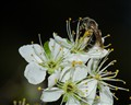Little Bee On Plum Blossom