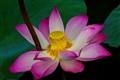 Lotus blossom_8602