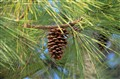 Louisiana Pine Cone