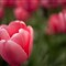 Tulips 2-Edit