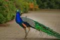 Peacock-8363