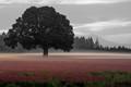 Red Clover Dawn