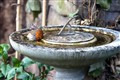 Robin playing in bird bath