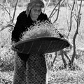 a granny living on a farm can never retire --- there are always many jobs she can do to help out her family --- here she is winnowing the recent rice harvest...