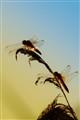 Sunny Dragonflies