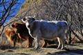 Free Range Cows Kodiak Alaska