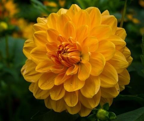 Yellow dahlia.