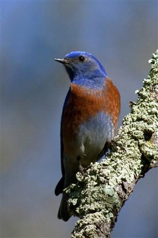 bluebird best 1