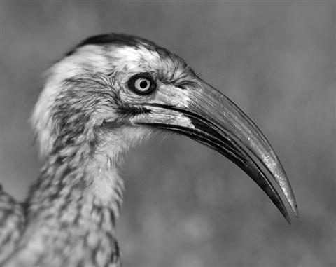 African Grey Hornbill