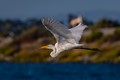 Egret in Flight-0126