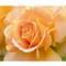 Rose29th2