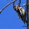 Woodpecker_9087c