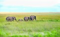 Elephants on the Masaai