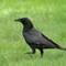 American Crow 1 Origwk1_MG_2966
