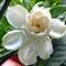 Gardenia # 2