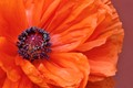 Macro Poppy Flower