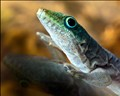 Gecko mit Spiegelbild
