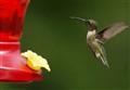 hbirds 2011-01575b