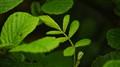 Budding leafs