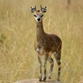 Klipspringer On The Serengeti