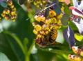 Širšuolas / European hornet