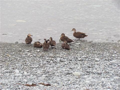 651-Ducks