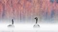 sunrise geese fog
