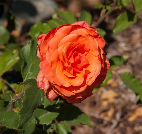 Rose_orange_web