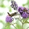 lilac lunch: An Allen's hummingbird sipping on a  lilac .