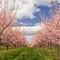 Nectarine_Orchard_Pano[1]