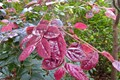 Leaves of a Purple Fringe Bush