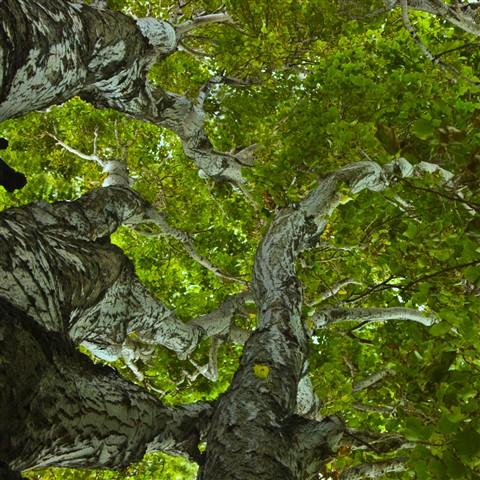 Inside poplars