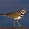 killdeer_5037
