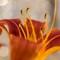 Hybrid daylily (Hemerocallis x spp. - Asphodelaceae, previously Xanthorrhoeaceae)
