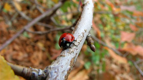 Ladybug walking on branch