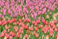 Tulips at Keukenof