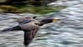 Cormorant Flying Along California's Central Coast Near San Simeon (Click on Image for Higher Rez Image)