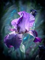 Iris - State flower of Tennessee