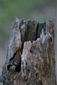 Hollow Stump