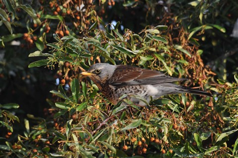 Fieldfare on pyracantha