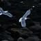 Gulls after lobster scraps-9