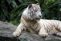 Tiger Singapore Zoo