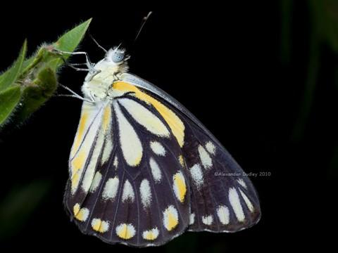 Butterfly9115