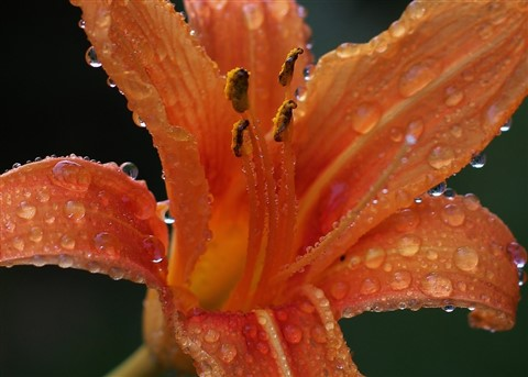 day lily in the rain resized
