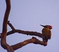 Wood pecker,perching in the morning,dead tree branch,Salt lake park,Kolkata,India.