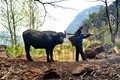 Farmer and His Buffalo