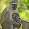 monkey2aa